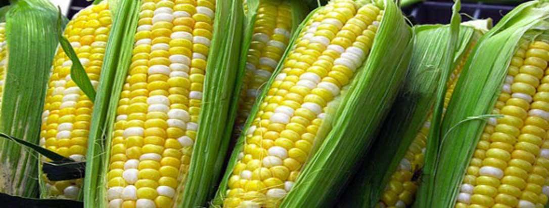 Cultiver le maïs? C'est simple!