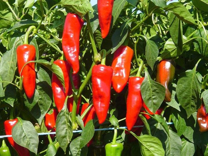 Comment cultiver du piment?