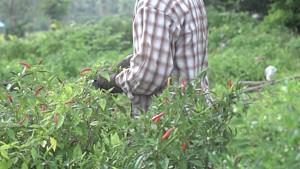 recote-piment