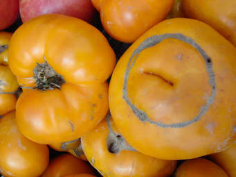 TOMATE de type YELLOW Centiflor